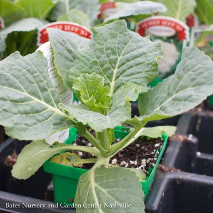 Edible 4inch Pot Vegetable Cabbage