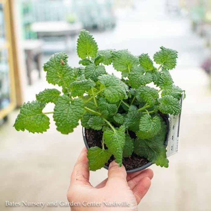 Edible 4 Inch Pot Herb Lemon Balm