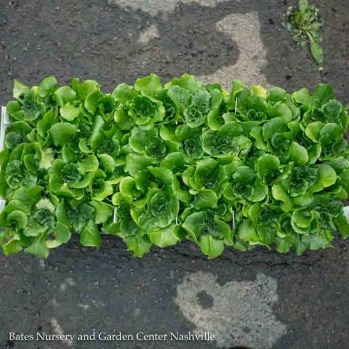 Edible Flat (12 4-packs) Vegetable Lettuce-Head