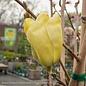 #15 Magnolia acuminata 'Elizabeth'/Deciduous Primrose Yellow