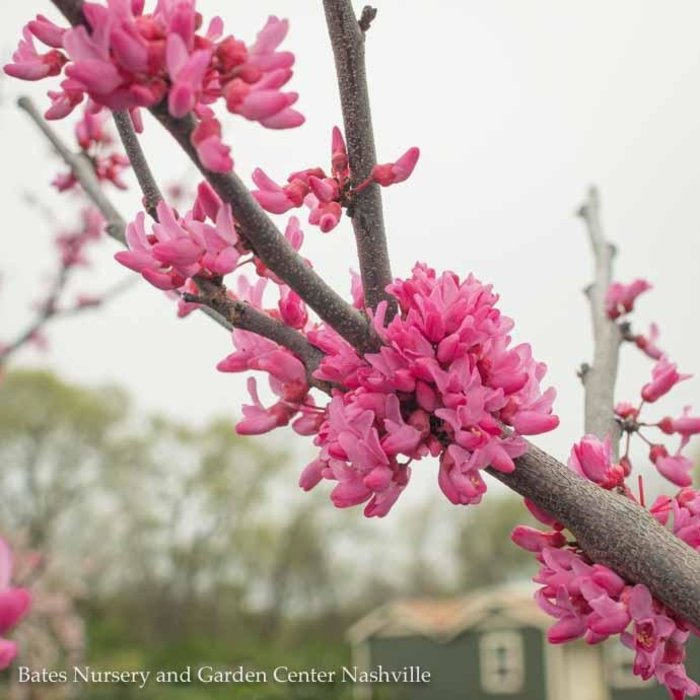 #10 Cercis can Appalachian Red/Redbud