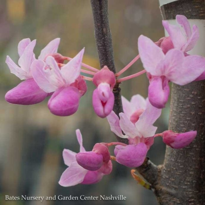 #15 Cercis can The Rising Sun/Redbud Chartreuse Foliage