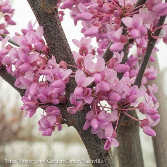 #15 Cercis canadensis/Eastern Redbud Single
