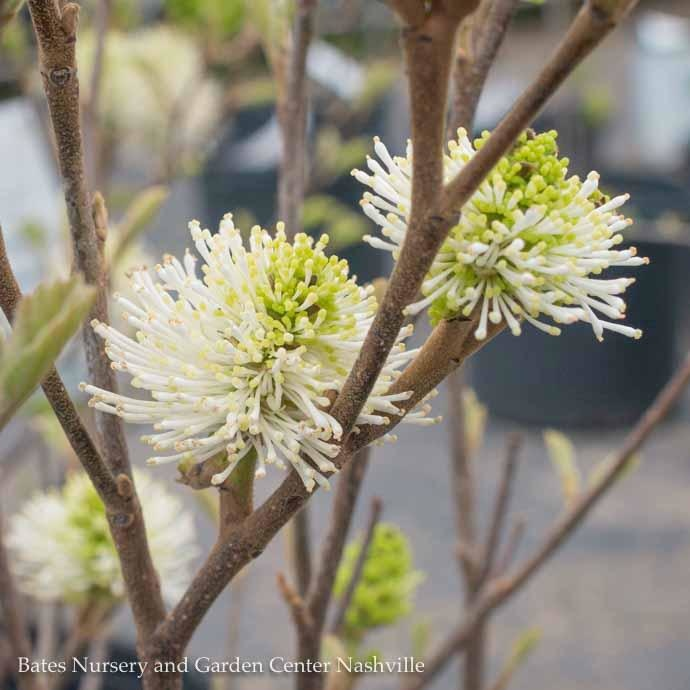 #3 Fothergilla Mt. Airy/Witch Alder