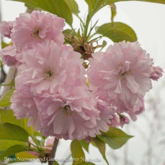 """2""""caliper Prunus s Kwanzan/Double Pink Flowering Cherry"""
