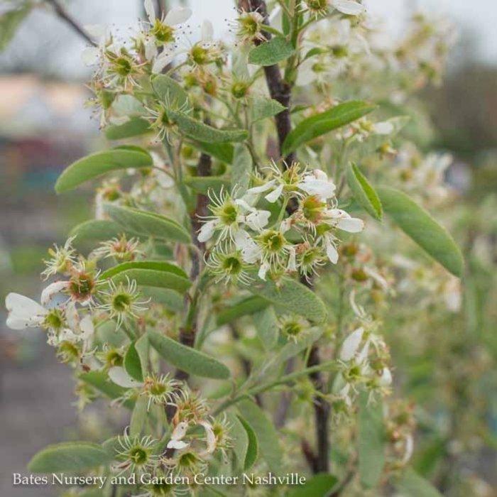 #15 Amelanchier c. Rainbow Pillar/Shadblow Serviceberry