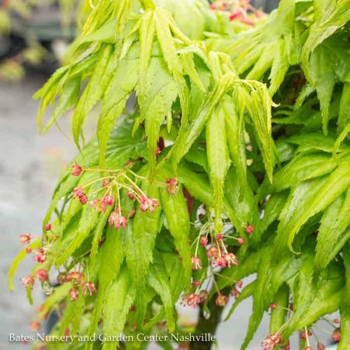 #6 Acer pal Mikawa yatsubusa/Japanese Maple Green Dwarf
