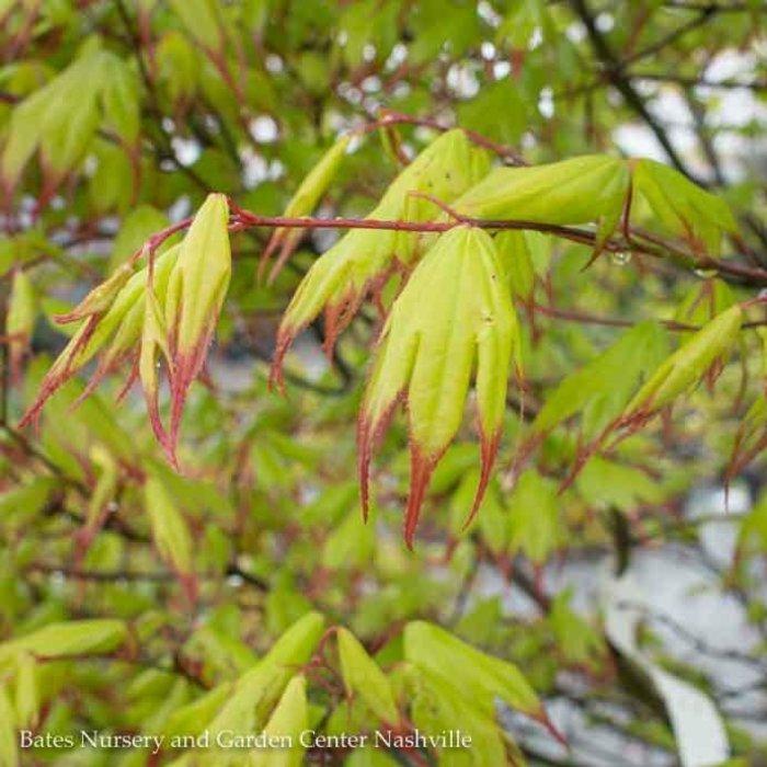 #15 BOX Acer pal Tsuma Gaki/Japanese Maple Green (Red Tips) Upright