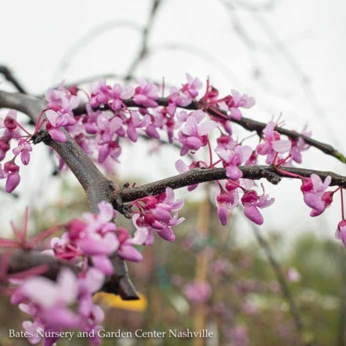 #15 Cercis can Pink Heartbreaker/Redbud Weeping