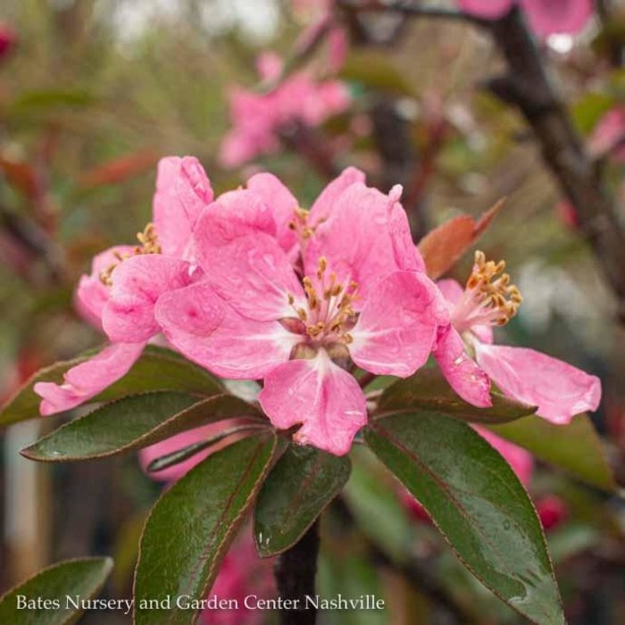 #15 Malus Royal Gem/Dark Pink Crabapple Dwarf