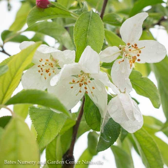 #5 Malus 'Spring Snow'/White Crabapple