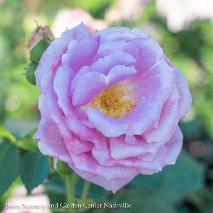 #3 Rosa Arctic Blue/Pink Floribunda Rose  No Warranty