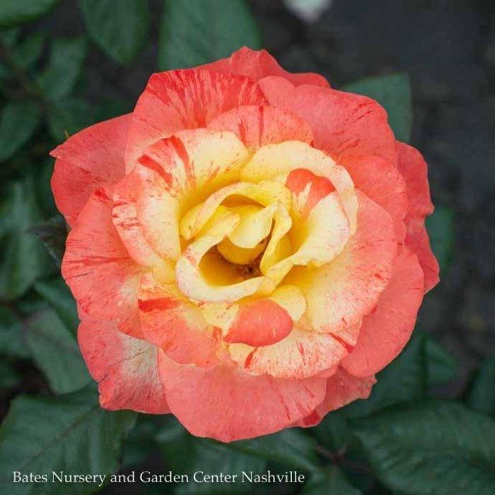 #3 Rosa Chihuly/Floribunda Rose Yellow NO WARRANTY