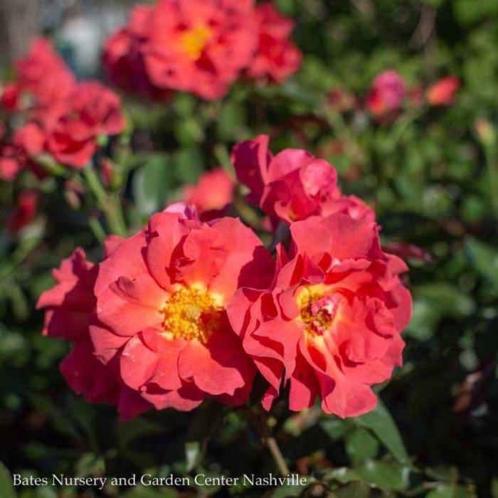 #3 Rosa 'WEKcobeju'/Cinco De Mayo Floribunda Rose NO WARRANTY