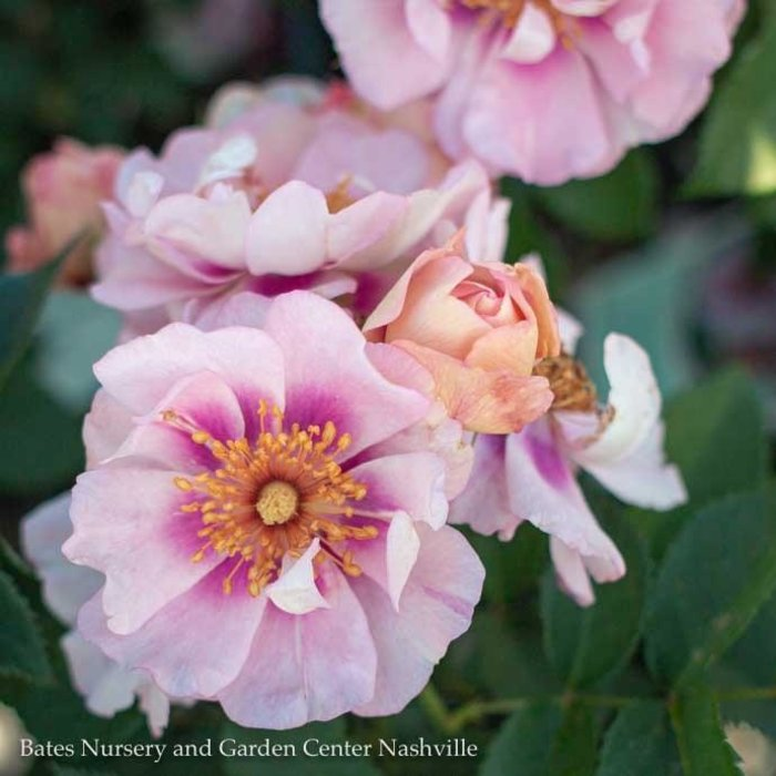 #3 Rosa Easy on the Eyes/Shrub Rose Pink NO WARRANTY