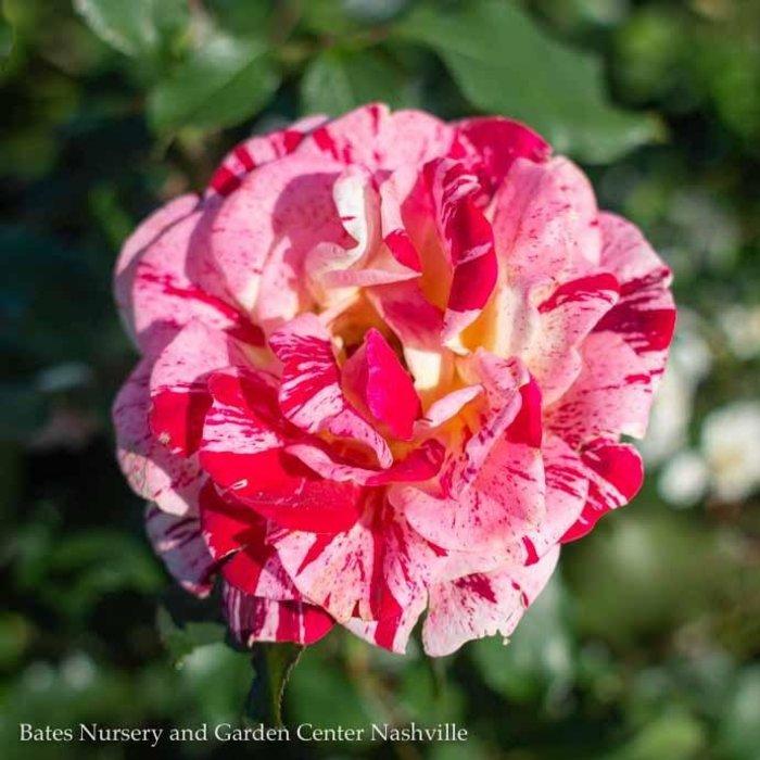 #3 Rosa George Burns/Cream and Red Floribunda Rose  No Warranty