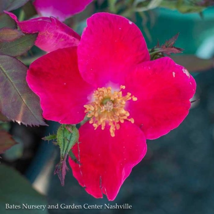 #3 Rosa Home Run/Shrub Rose Red NO WARRANTY