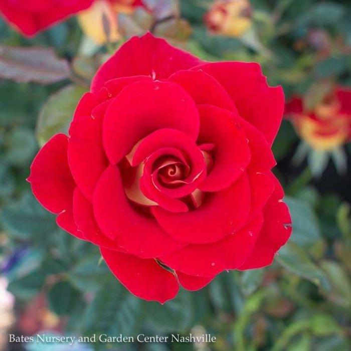 #3 Rosa Ketchup & Mustard/Rose Floribunda Red and Yellow NO WARRANTY