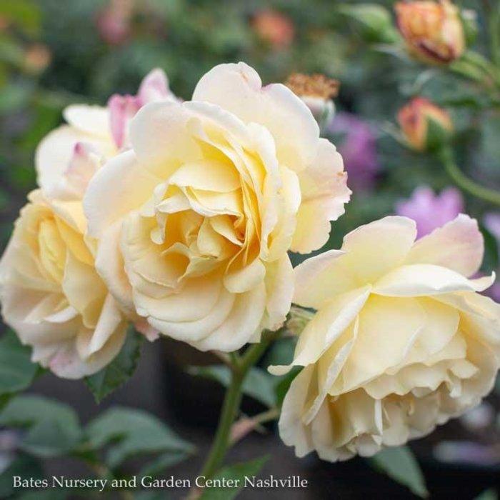 #3 Rosa Life of the Party/Yellow & Pink Floribunda Rose  No Warranty