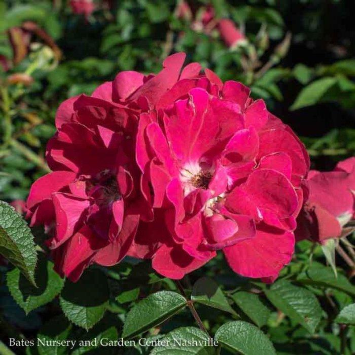 #3 Rosa Linda Campbell/Rugosa Rose Red NO WARRANTY