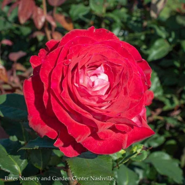 #3 Rosa Love at First Sight/Hybrid Tea Rose Red with White NO WARRANTY