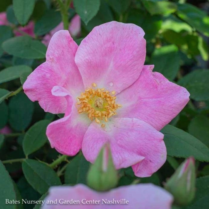 #3 Rosa Nearly Wild/Pink Floribunda Rose NO WARRANTY