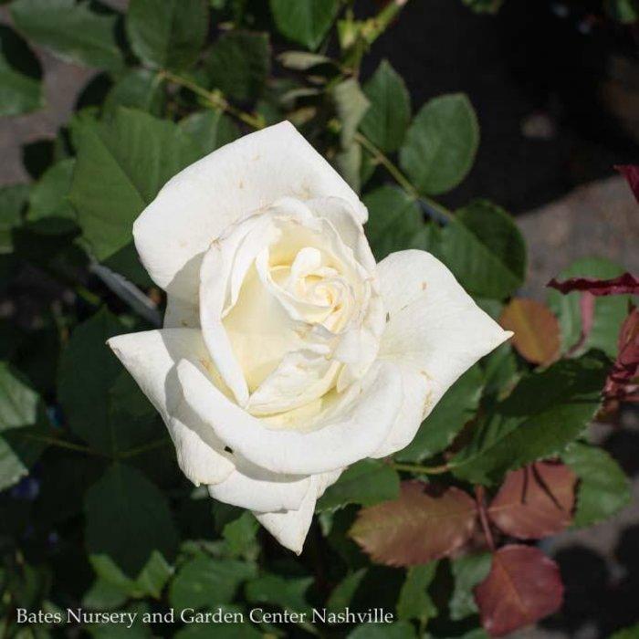 #3 Rosa Pope John Paul II/Hybrid Tea Rose White NO WARRANTY