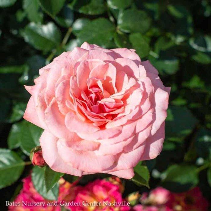 #3 Rosa Sexy Rexy/Floribunda Rose Pink NO WARRANTY