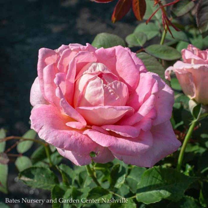 #3 Rosa Tiffany/Hybrid Tea Rose Pink NO WARRANTY