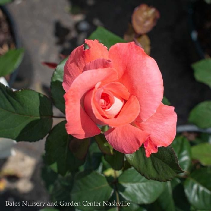 #3 Rosa Touch Of Class/Hybrid Tea Rose Pink & Cream NO WARRANTY