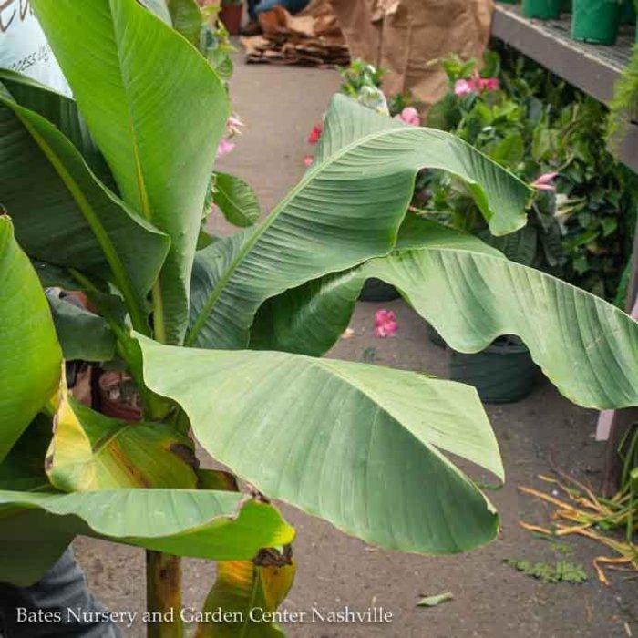 Tropical 10p! Banana Musa Basjoo/Hardy Fiber Banana - No Warranty