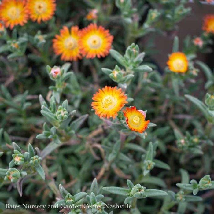 #1 Delosperma Wheels of Wonder Orange/Ice Plant