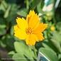 #1 Coreopsis aur. Nana/Dwarf Tickseed Yellow