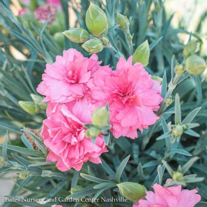 #1 Dianthus PW Classic Coral/Cheddar Pinks