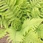 #1 Dryopteris marginalis/Eastern Wood/Leatherwood Fern