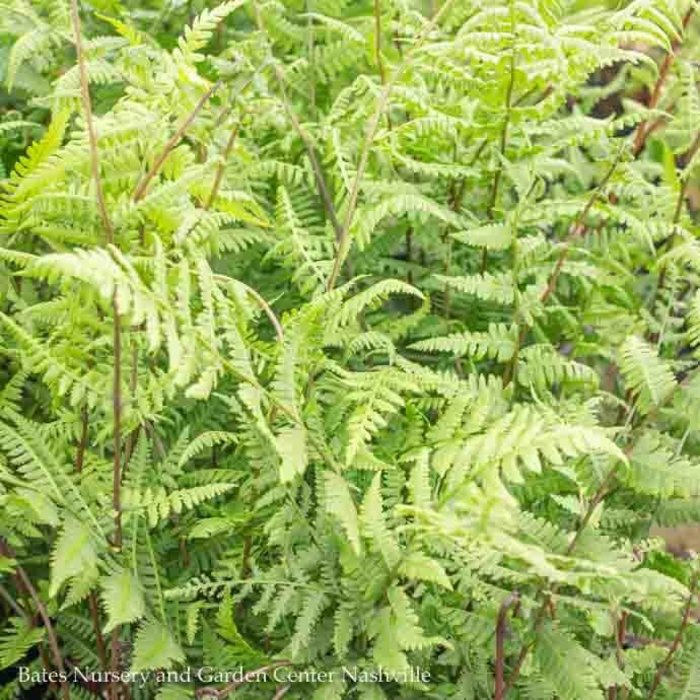 #1 Athyrium filix-femina Lady in Red/Lady Fern Native Cultivar