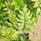 #1 Cyrtomium falcatum Rochfordianum/Japanese Holly Fern
