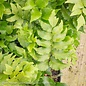 #1 Cyrtomium falcatum Rochfordianum/Japanese Holly Fern