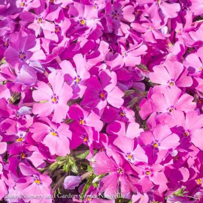 QP Phlox s Early Spring Purple/Creeping