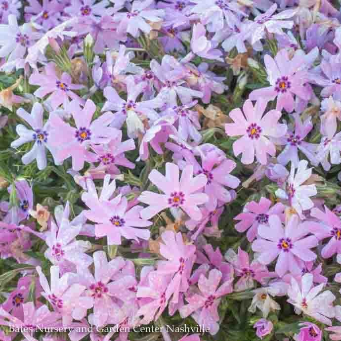 QP Phlox sub 'Fort Hill'/Creeping Rose-pink Phlox