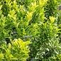 #1 Euonymus j Green Spire/Upright
