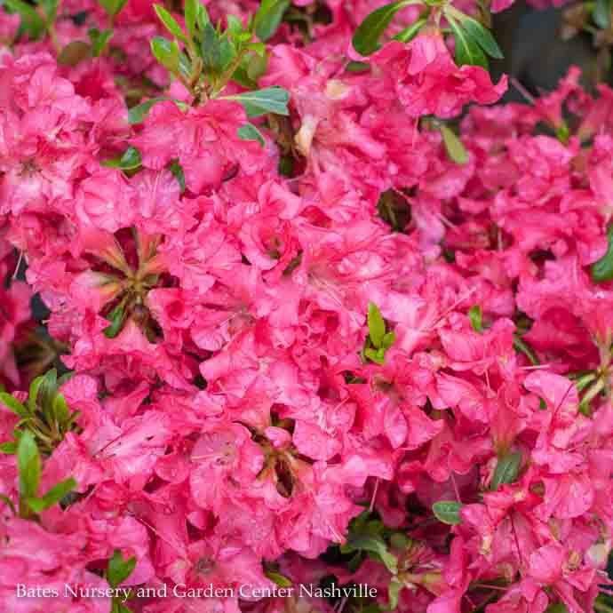 #3 Azalea Bllom-A-Thon Hot Pink/Rebloom