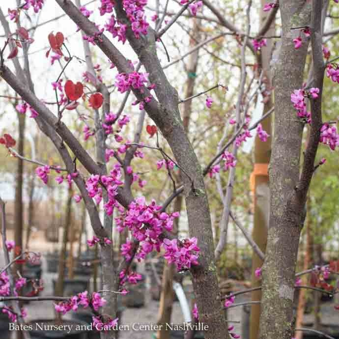 #15 Cercis can x tex Merlot/Redbud Purple Foliage