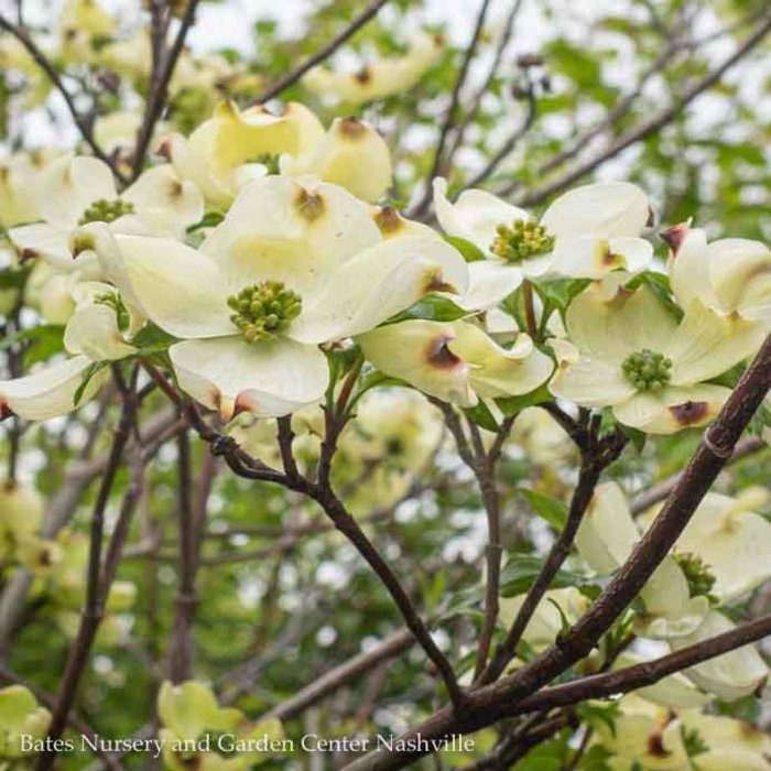#25 Cornus florida Cherokee Princess/Flowering Dogwood White