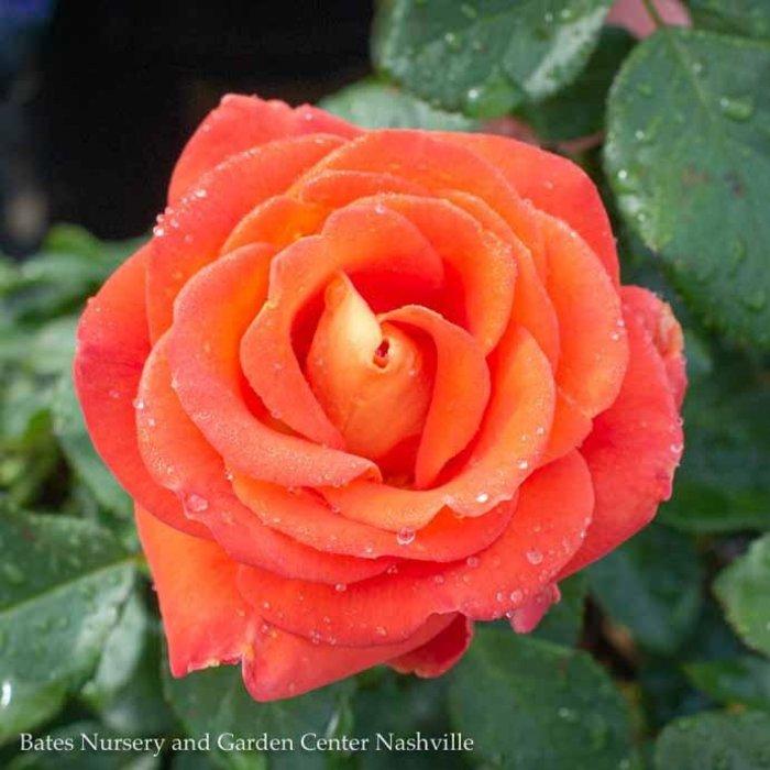 #3 Rosa Burst of Joy/Orange and Yellow Floribunda Rose  No Warranty