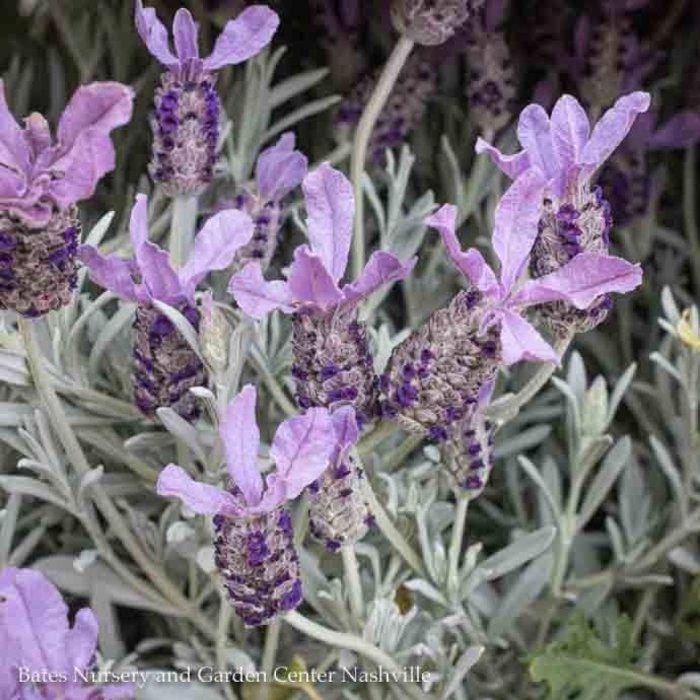 #1 Lavendula Silver Anouk/French Lavender No Warranty