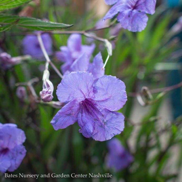 Tropical 10p! Ruellia/Mexican Petunia Purple Showers Braided Tree Form