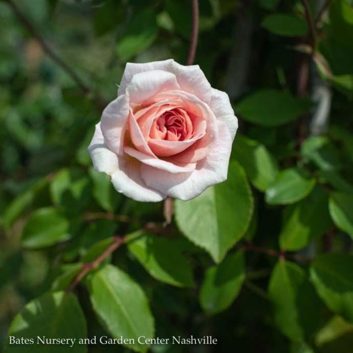 #1 STK Rosa x 'Cecile Brunner'/Pink Climbing Rose NO WARRANTY