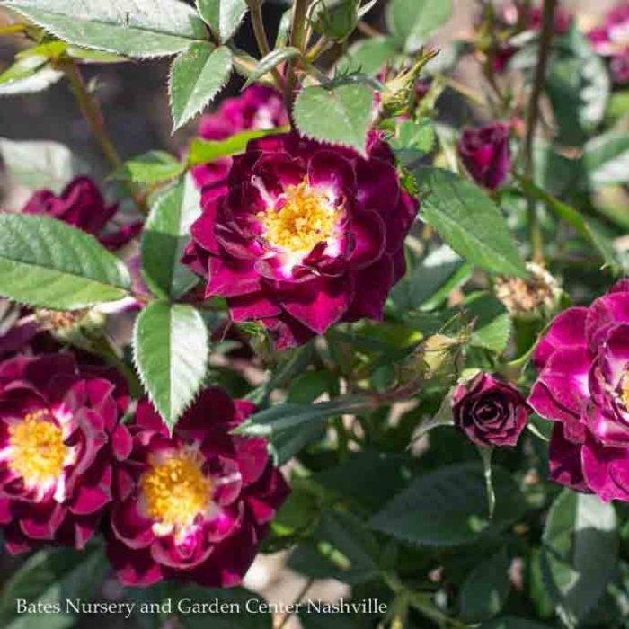 #3 18in Patio Tree Rosa Diamond Eyes/Miniature Rose NO WARRANTY