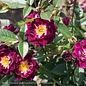 #3 18in Patio Tree Rosa Diamond Eyes/Miniature Rose NO WARRANTY